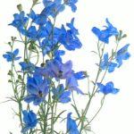 花屋が選ぶ!花束に使える 『青い花』 リストをまとめたよ