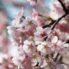 『桜のいのち庭の心』佐野藤右衛門さんの語りから自然を考える