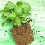 【ベランダ菜園】買ってきたバジル苗を分割して大量収穫に挑戦