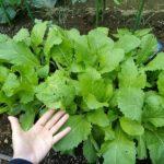 【葉物野菜】畑とプランターの差がすごい件