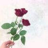 SPバラとかSPマムって何?スプレー咲き・スタンダード咲きについて解説するよ