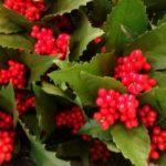 お花屋さんで買える!お正月の赤い実、名前わかりますか?