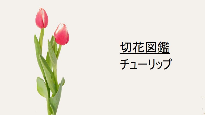 花 言葉 チューリップ