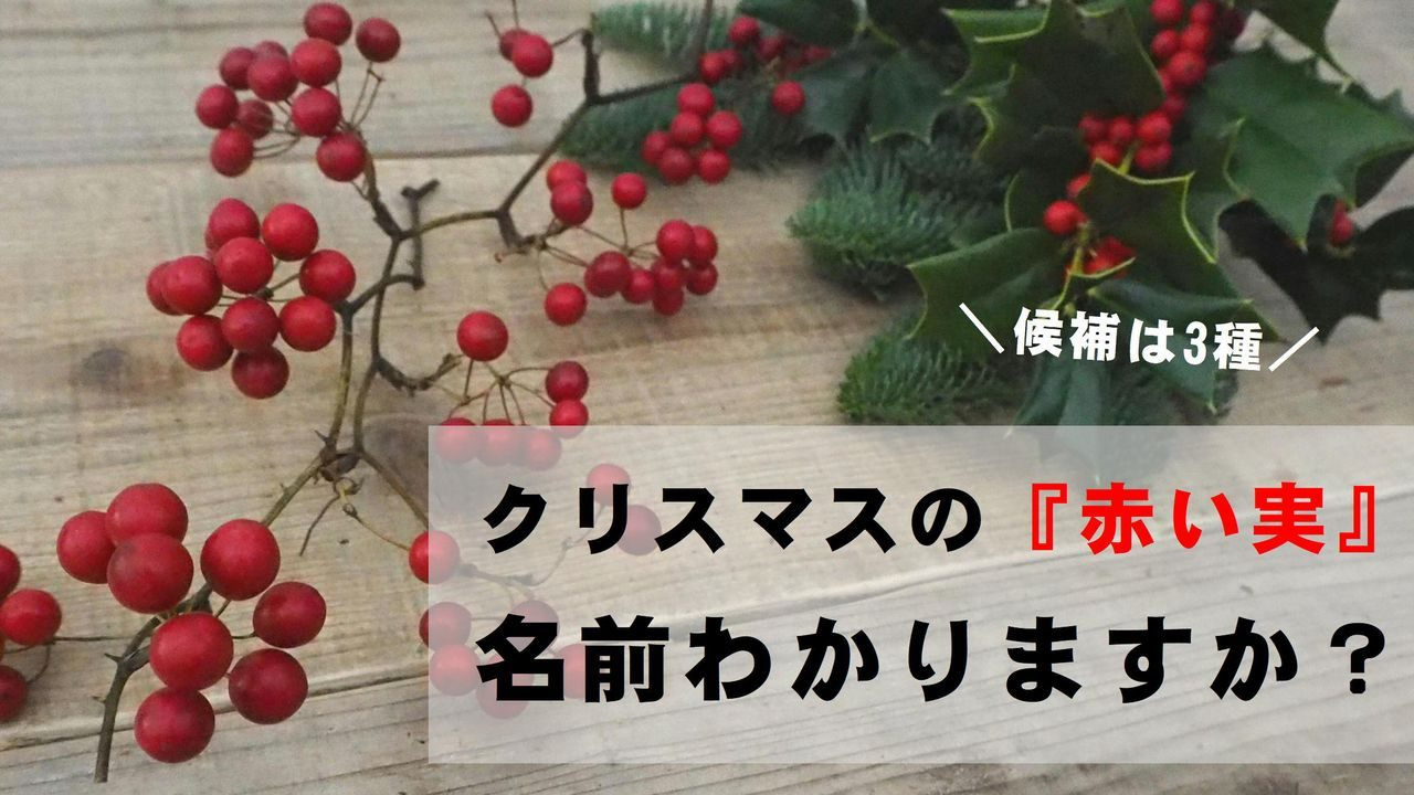 クリスマス 赤い実 種類
