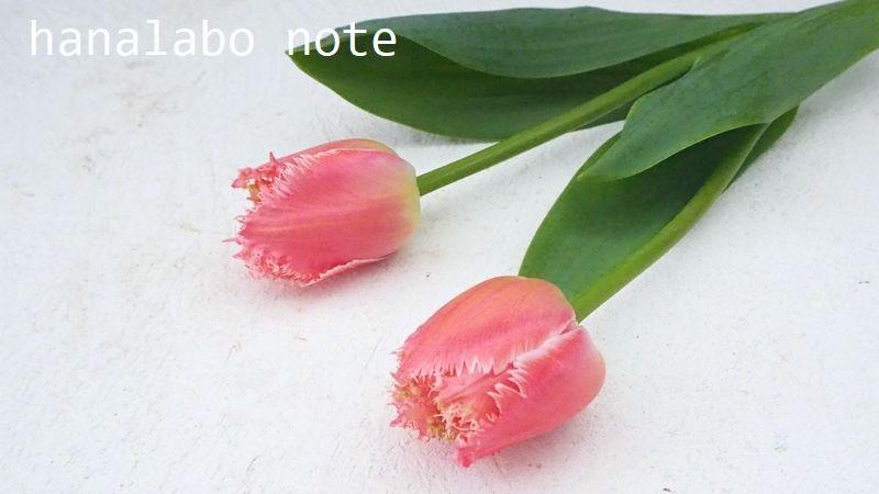 チューリップ フリンジ咲き