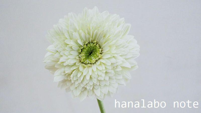 ガーベラ 八重咲き フルダブル