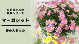 マーガレット 花鉢