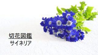 サイネリア 切花