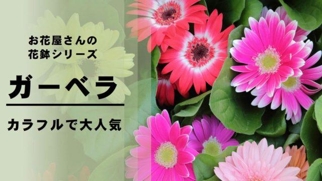 ガーベラ 花鉢 鉢植え